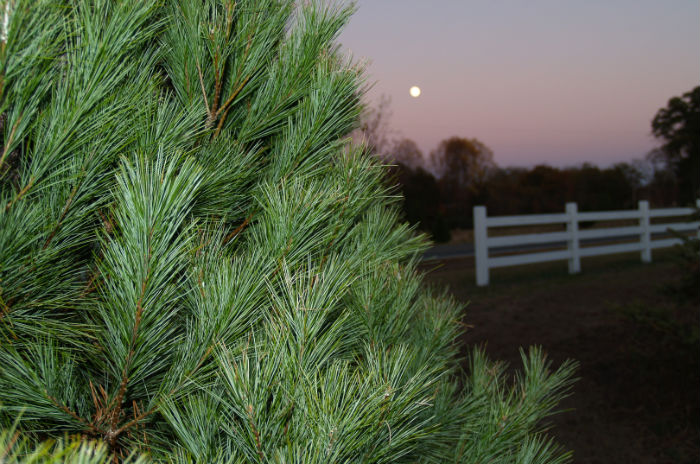 farmscapes-white-pine-moon