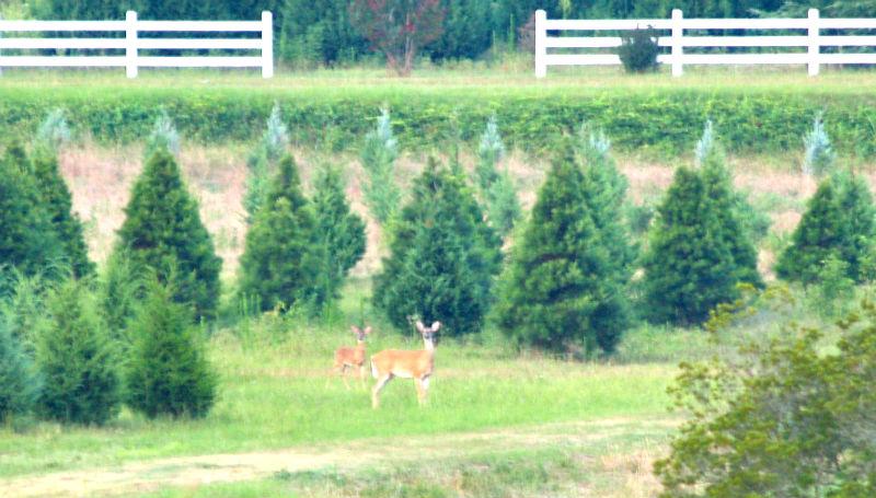 Deer-in-D-1