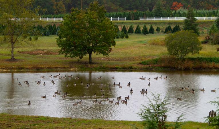 web---wildlife-geese